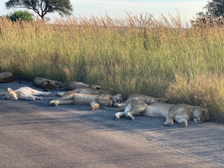 Η φύση αντεπιτίθεται: Λιοντάρια κοιμούνται στο δρόμο και κοπάδι από ελάφια βολτάρει σε πόλη