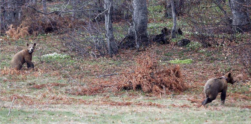 Ο Bradley και ο Cooper ελεύθεροι στο δάσος! Επανένταξη για δύο αρκουδάκια από τον «Αρκτούρο»