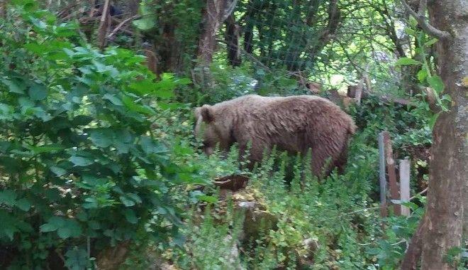 Αρκούδα ζει εδώ και ένα μήνα μαζί με τους κατοίκους στο Μικρό Πάπιγκο