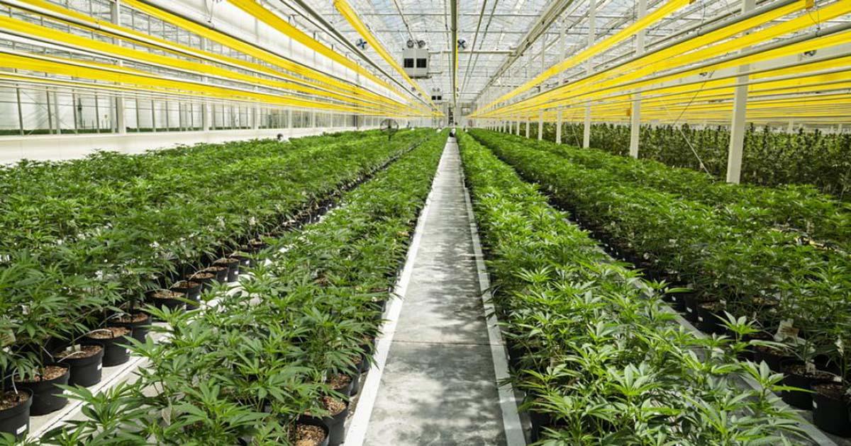Μεγάλο ενδιαφέρον επενδυτών για καλλιέργεια φαρμακευτικής κάνναβης στη Ρόδο